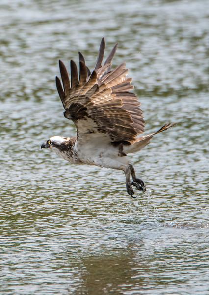 Osprey in Flight 6/21/16