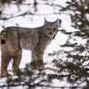 First Lynx