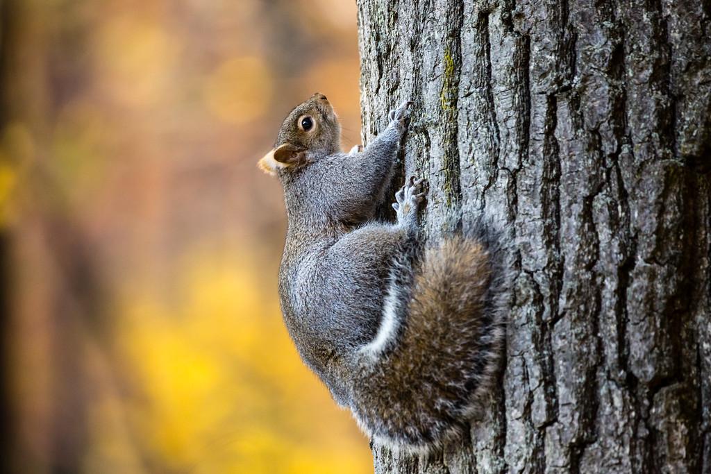 Hoffmaster Squirrel 3