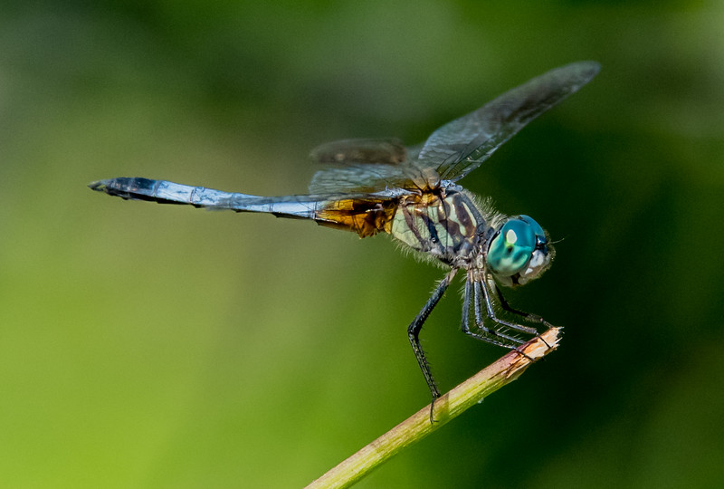 Blue Skimmer Dragonfly 7/16/16