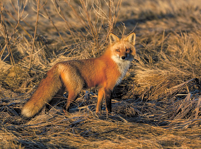 _JF00220 Red Tail Fox in the Salt Marsh ~ Early Light - Copy