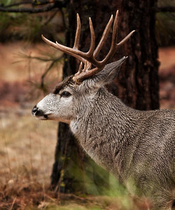 Mule Deer in the Rain