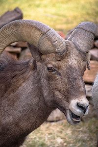 Smiling Big Horn Sheep