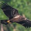 Juvenile Bald Eagle in Flight 6/22/16