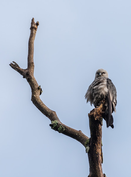 Mississippi Kite 8/30/17