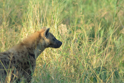 Portrait Spotted Hyaena in grass
