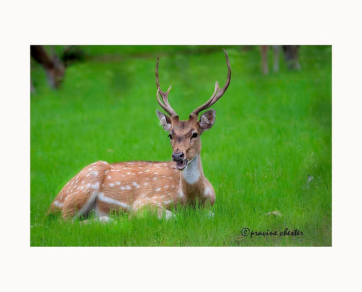 Spotted Deer amidst greenery