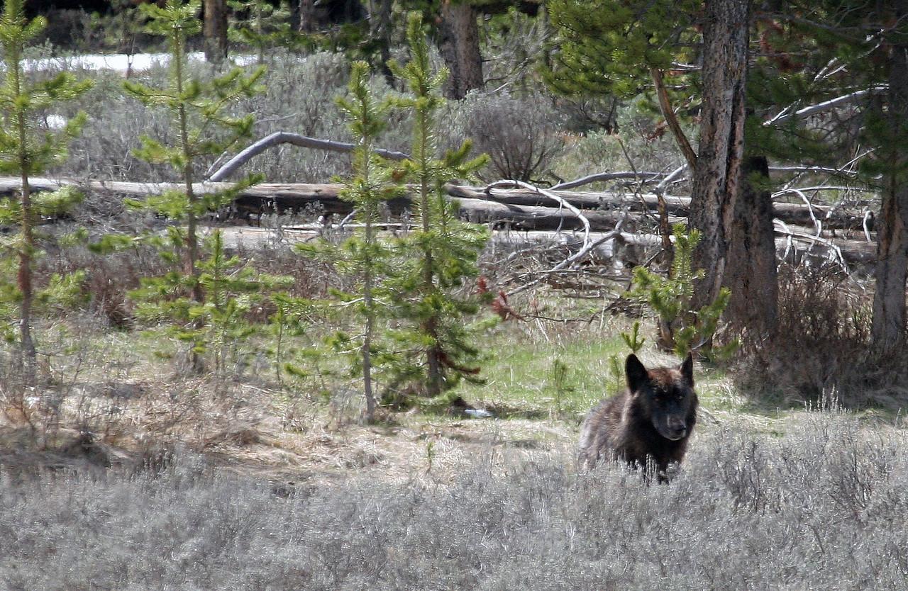 Black Wolf - Yellowstone National Park