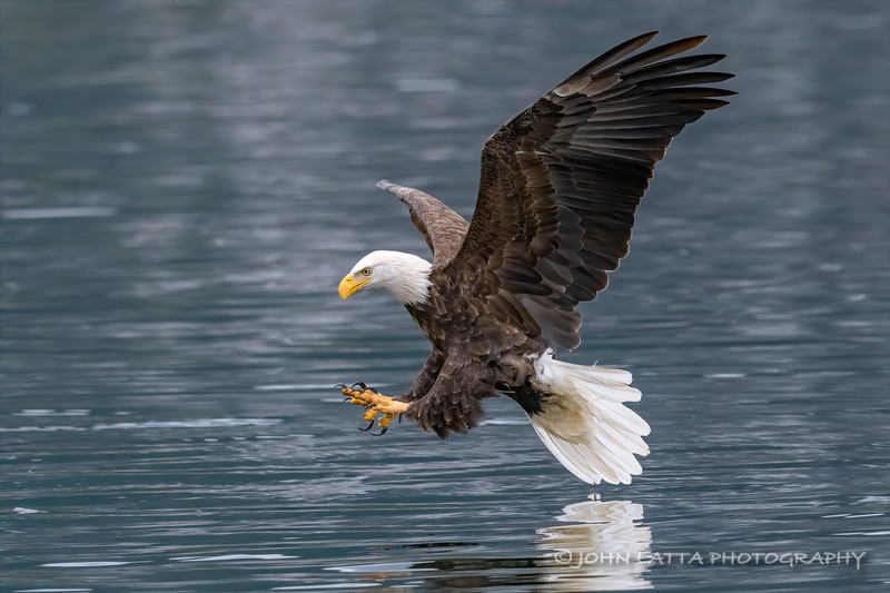 Bald Eagle with Talons Ready
