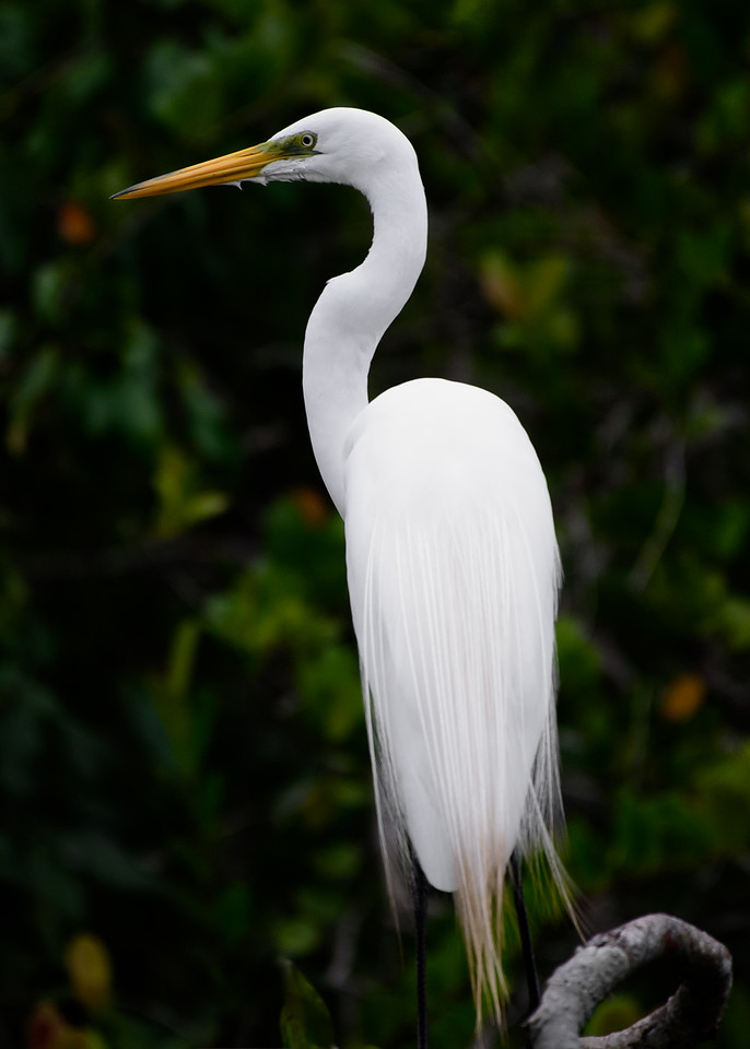 A morning boat tour from our gracious Ak`Tenamit hosts found this heron catching breakfast in the still passageways leading to the Rio Dulce.  Guatemala 2016.