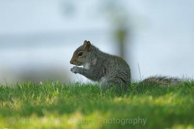 Eastern Gray Squirrel Sciurus carolinensis