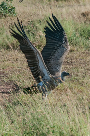 Vulture, African White-backed