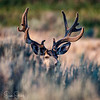 Sagebrush Buck Part I