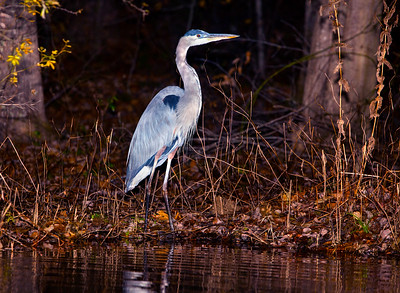 Lake Brandt Blue Heron