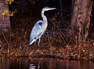 Lake Brandt Blue Heron