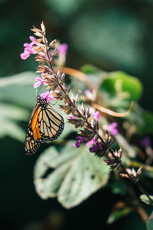 A monarch butterfly during the annual migration, Michoacán, Mexico.