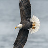 Bald Eagle Turnning