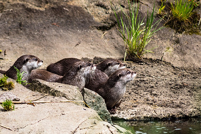 Edinburgh Zoo: Oriental Short Clawed Otters