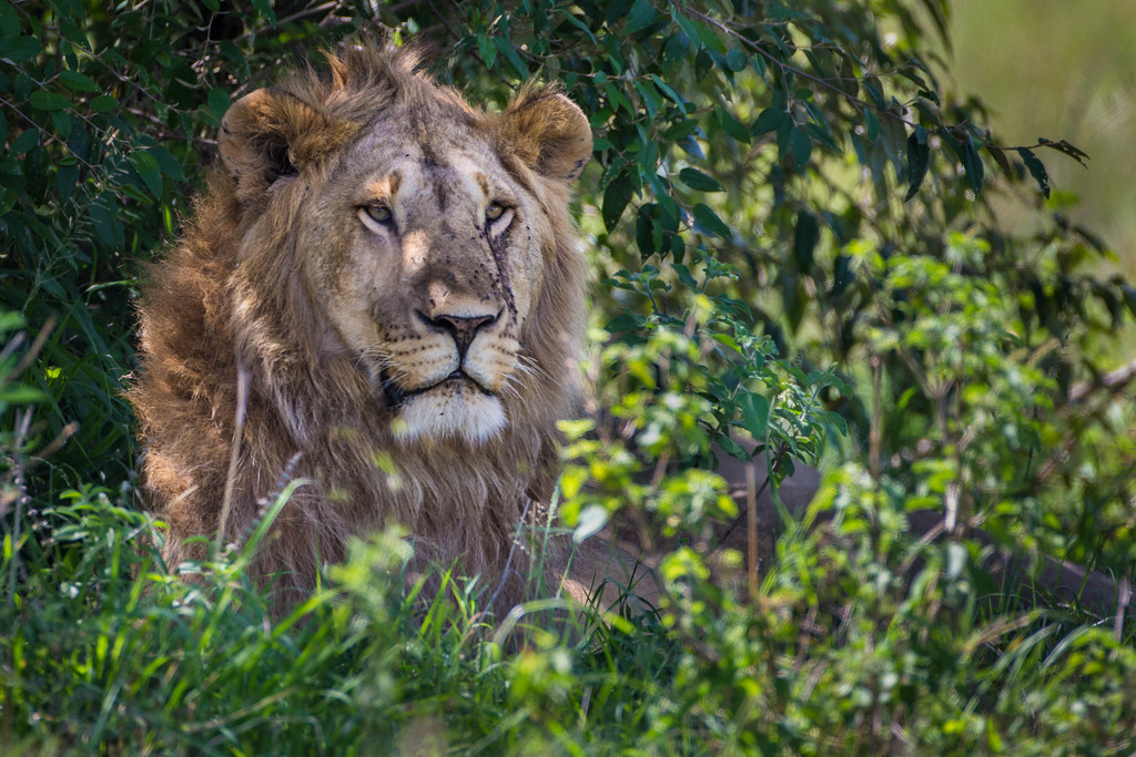 animal encounters lions in africa