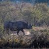 An endangered Black rhinoceros (Diceros bicornis) in Masai Mara, Kenya, East Africa