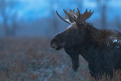 Close Encounters of the Moose Kind