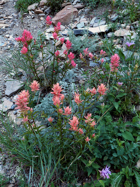 Indian Paint Brush -  Waterton National Park, Canada