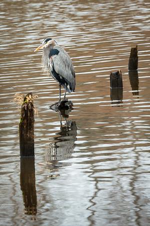Great Blue Heron, Juanita Bay Park
