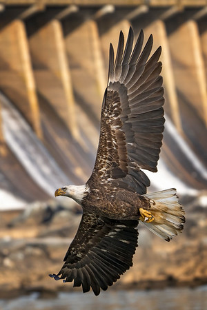Eagle Souring at Conowingo