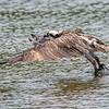 Osprey Water Takeoff 6/21/16