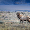 Bull elk in Grand Teton National Park, Wyoming