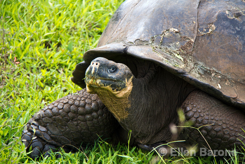 Giant tortoise, Rancho Primicas, highlands, Isla Santa Cruz, Galapagos Islands, Ecuador.