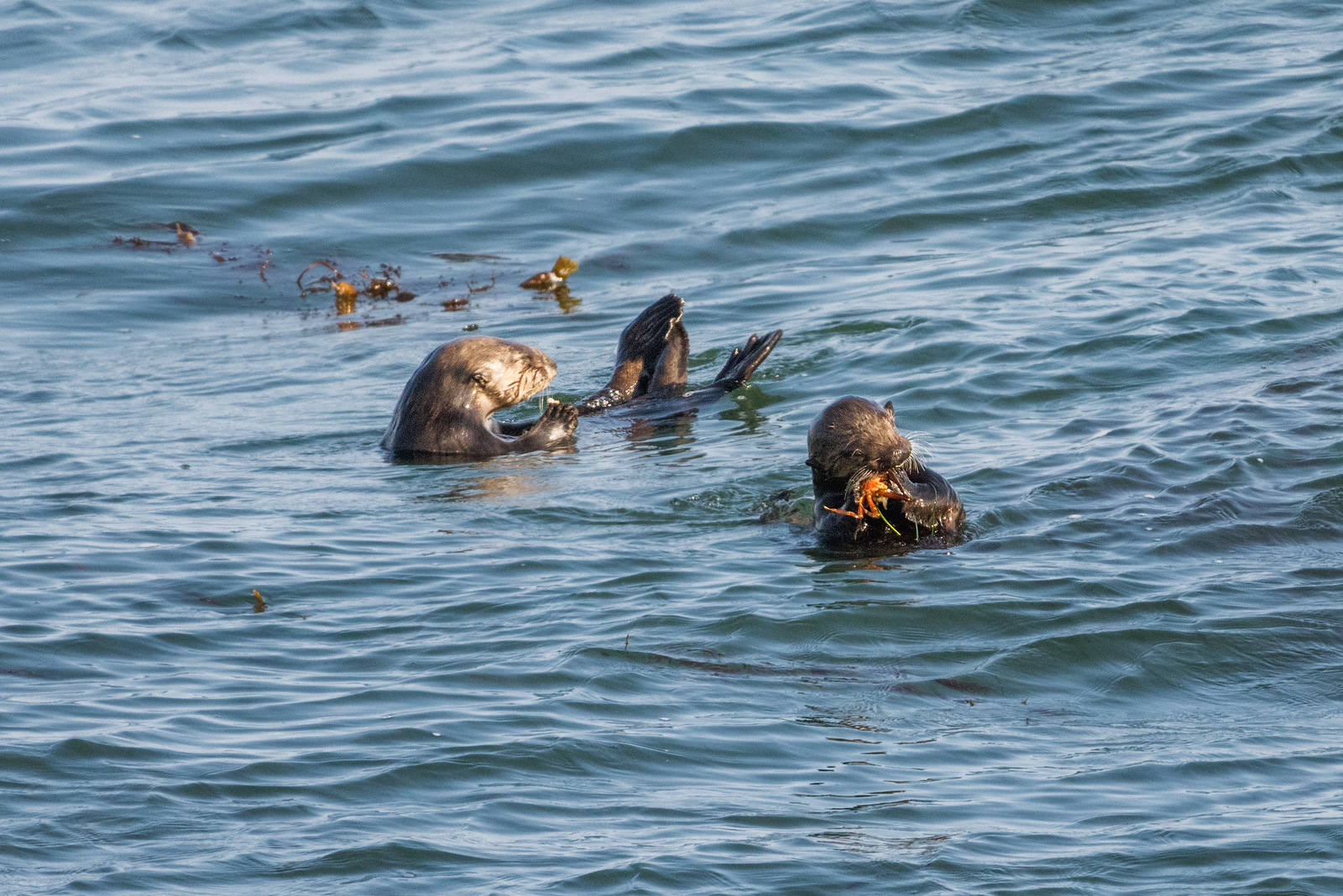 Otters eating crab