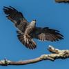 Mississippi Kite 8/14/16