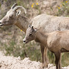 A young bighorn sheep next to mother
