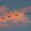 White Fronted Geese at Sunset 2408