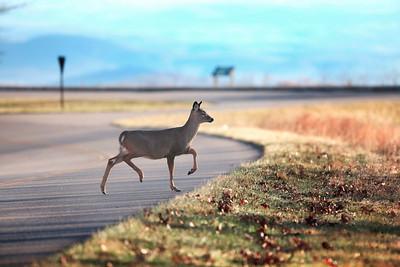 BRP Deer