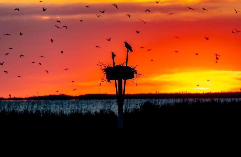A Fiery Sunset Silhouetting An Active Osprey Nest 6/13/20