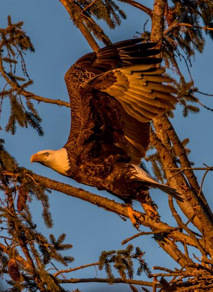 Bald Eagle Taking Off at Dusk 3/4/17