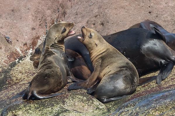 Sea lion communication