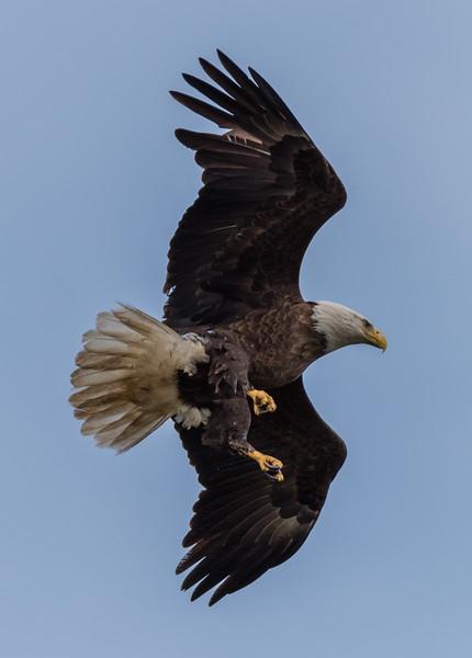 Bald Eagle in Flight 4/24/18