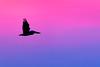 Brown Pelican at Sunrise — Harbor Island, SC