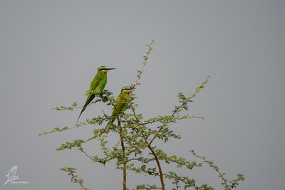Bee-eater, Blue-cheecked (spp. persicus)