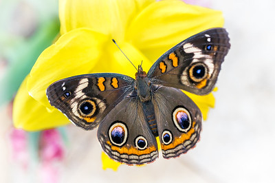 Common Buckey Butterfly in Pastel