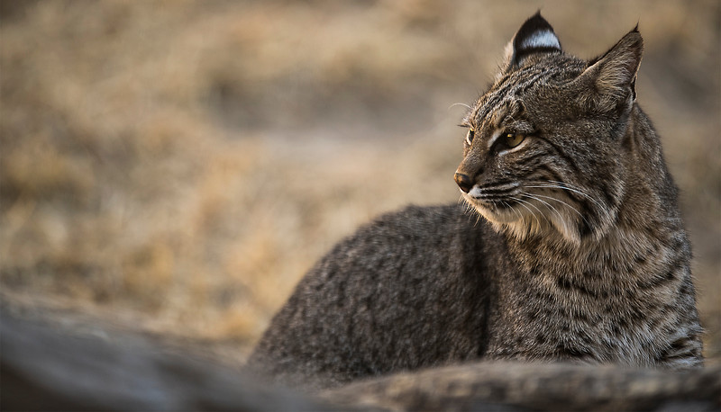 A bobcat warms its face in the sun at the Lee Richardson Zoo Monday. Bobcats can enjoy their outside enclosure year-round, as the animals are native to the High Plains.