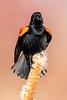 Red-winged Blackbird — Singing