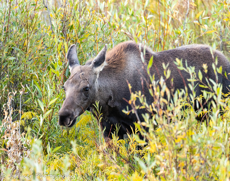 young moose calf in colorful willows