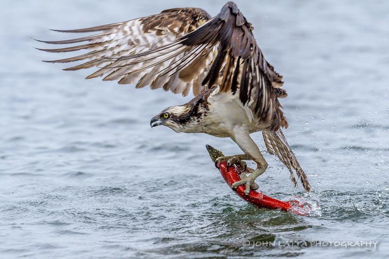Osprey Pulls Kokanee from Water