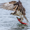 Osprey Pulls Kokanee from Water