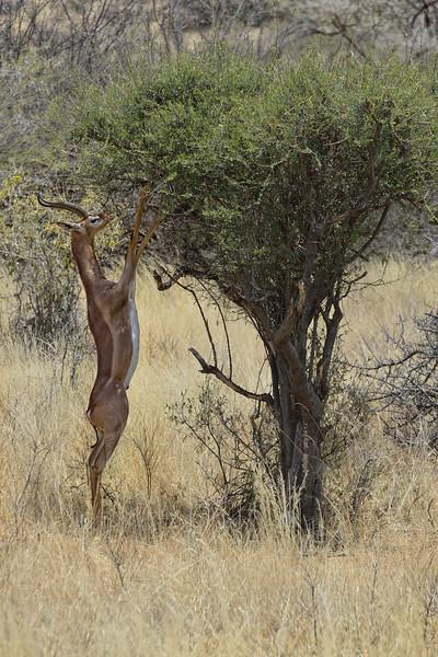 Gerenuk (Litocranius walleri) in Samburu National Park, Kenya, East Africa