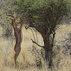 Gerenuk (Litocranius walleri) in Samburu National Park, Kenya, East Africa